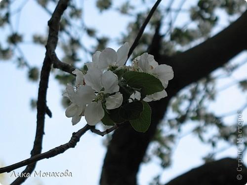 Моя яблонька))) фото 2