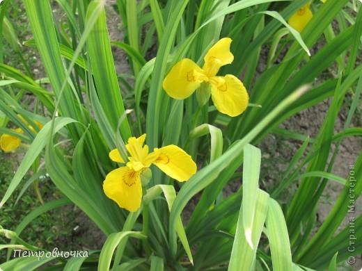 Удивительный цветок ирис. На Кубани их называют ласково петушки. Всего десяток лет назад они были одного цвета и размера, а сейчас такое разнообразие, что дух захватывает. фото 19
