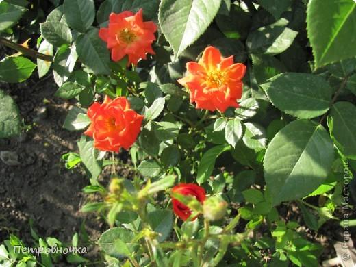 Как только два года назад купили цифровик, стала фотографировать цветы. У меня довольно большая коллекция. Но эти фото сделаны сегодня. Это первые розы этого года. фото 5