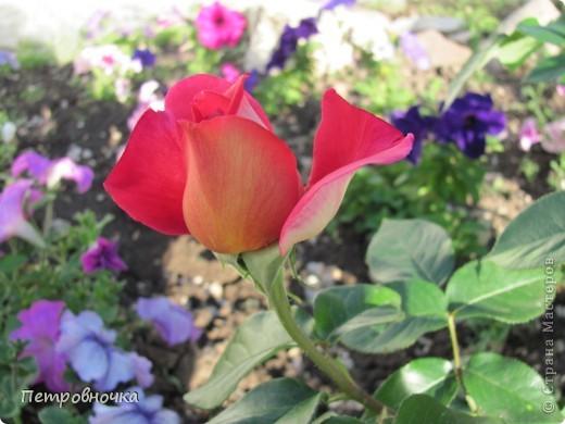 Как только два года назад купили цифровик, стала фотографировать цветы. У меня довольно большая коллекция. Но эти фото сделаны сегодня. Это первые розы этого года. фото 3