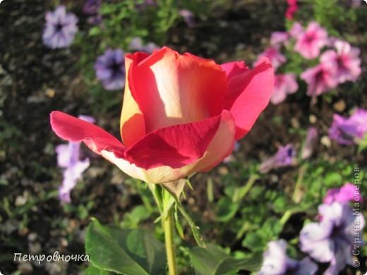 Как только два года назад купили цифровик, стала фотографировать цветы. У меня довольно большая коллекция. Но эти фото сделаны сегодня. Это первые розы этого года. фото 4
