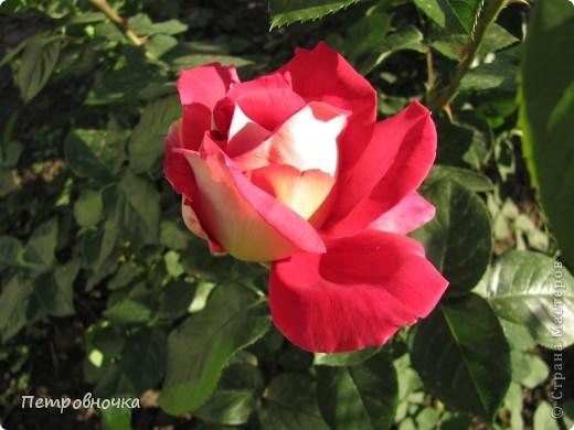 Как только два года назад купили цифровик, стала фотографировать цветы. У меня довольно большая коллекция. Но эти фото сделаны сегодня. Это первые розы этого года. фото 6