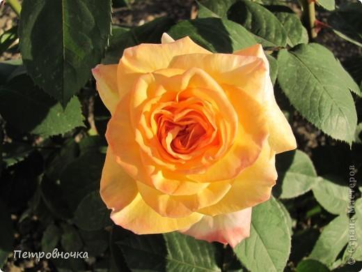 Как только два года назад купили цифровик, стала фотографировать цветы. У меня довольно большая коллекция. Но эти фото сделаны сегодня. Это первые розы этого года. фото 1