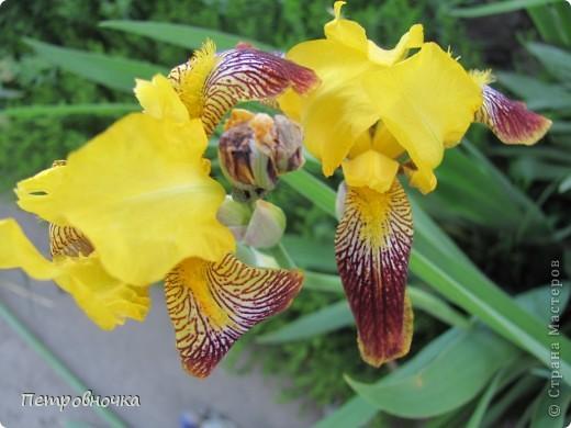 Удивительный цветок ирис. На Кубани их называют ласково петушки. Всего десяток лет назад они были одного цвета и размера, а сейчас такое разнообразие, что дух захватывает. фото 21