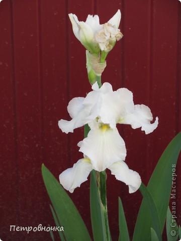 Удивительный цветок ирис. На Кубани их называют ласково петушки. Всего десяток лет назад они были одного цвета и размера, а сейчас такое разнообразие, что дух захватывает. фото 22