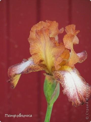 Удивительный цветок ирис. На Кубани их называют ласково петушки. Всего десяток лет назад они были одного цвета и размера, а сейчас такое разнообразие, что дух захватывает. фото 24