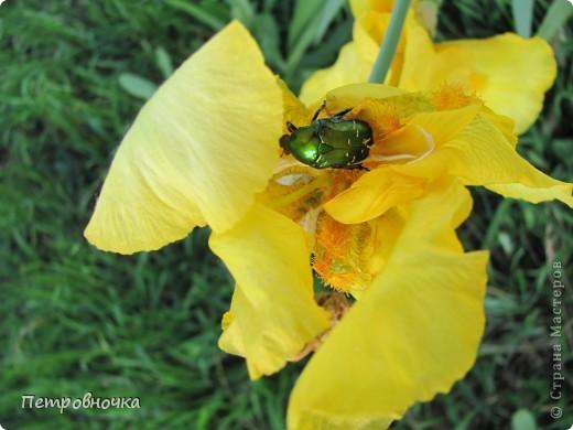 Удивительный цветок ирис. На Кубани их называют ласково петушки. Всего десяток лет назад они были одного цвета и размера, а сейчас такое разнообразие, что дух захватывает. фото 25