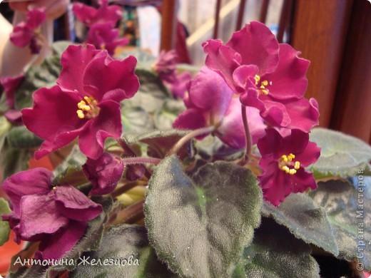 Предлагаю полюбоваться цветением моих фиалочек. Вот такая она красавица в полном цветении. фото 7
