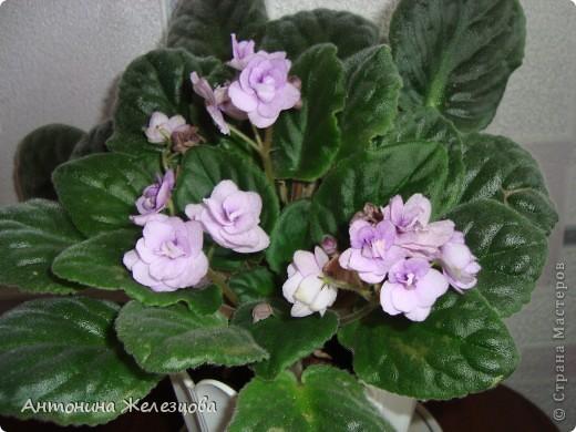 Предлагаю полюбоваться цветением моих фиалочек. Вот такая она красавица в полном цветении. фото 9