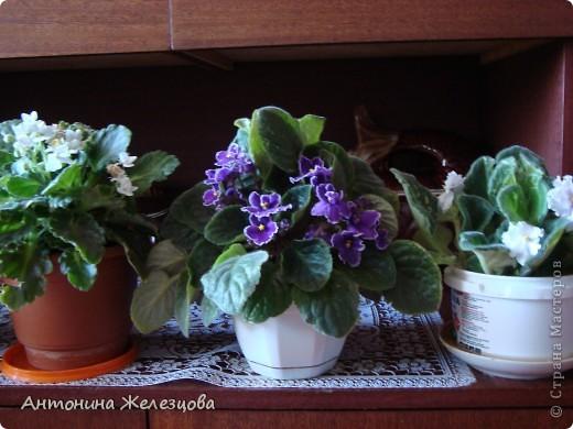 Предлагаю полюбоваться цветением моих фиалочек. Вот такая она красавица в полном цветении. фото 18