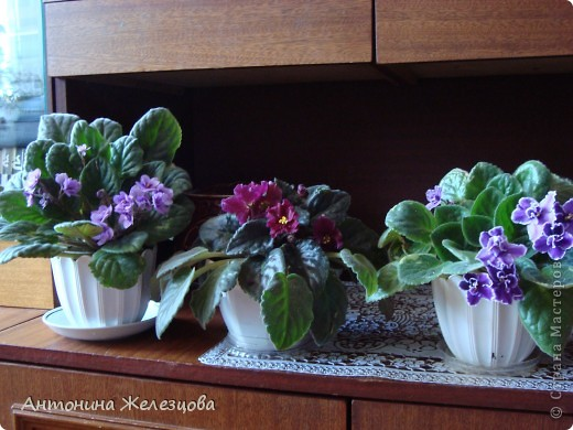 Предлагаю полюбоваться цветением моих фиалочек. Вот такая она красавица в полном цветении. фото 19