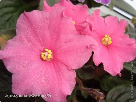 Предлагаю полюбоваться цветением моих фиалочек. Вот такая она красавица в полном цветении. фото 10