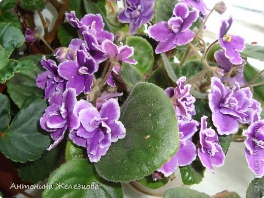 Предлагаю полюбоваться цветением моих фиалочек. Вот такая она красавица в полном цветении. фото 5