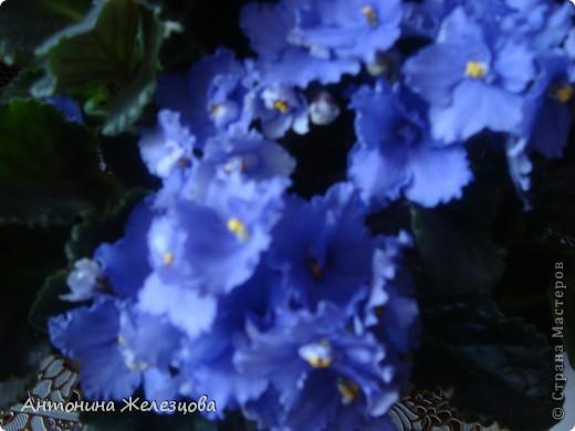 Предлагаю полюбоваться цветением моих фиалочек. Вот такая она красавица в полном цветении. фото 15