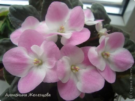 Предлагаю полюбоваться цветением моих фиалочек. Вот такая она красавица в полном цветении. фото 2