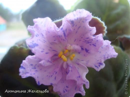 Предлагаю полюбоваться цветением моих фиалочек. Вот такая она красавица в полном цветении. фото 3