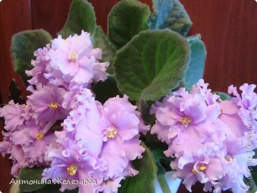Предлагаю полюбоваться цветением моих фиалочек. Вот такая она красавица в полном цветении. фото 11