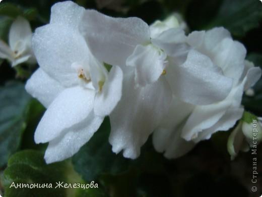 Предлагаю полюбоваться цветением моих фиалочек. Вот такая она красавица в полном цветении. фото 14