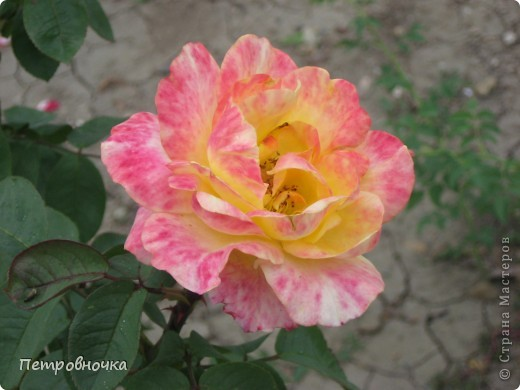 Как только два года назад купили цифровик, стала фотографировать цветы. У меня довольно большая коллекция. Но эти фото сделаны сегодня. Это первые розы этого года. фото 25
