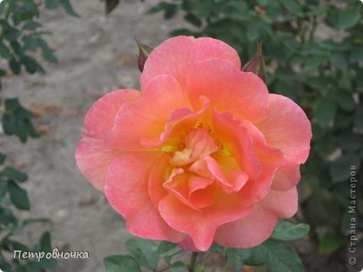 Как только два года назад купили цифровик, стала фотографировать цветы. У меня довольно большая коллекция. Но эти фото сделаны сегодня. Это первые розы этого года. фото 26