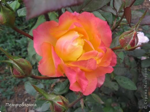 Как только два года назад купили цифровик, стала фотографировать цветы. У меня довольно большая коллекция. Но эти фото сделаны сегодня. Это первые розы этого года. фото 20