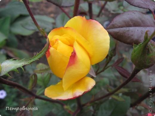 Как только два года назад купили цифровик, стала фотографировать цветы. У меня довольно большая коллекция. Но эти фото сделаны сегодня. Это первые розы этого года. фото 19