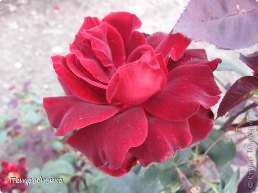 Как только два года назад купили цифровик, стала фотографировать цветы. У меня довольно большая коллекция. Но эти фото сделаны сегодня. Это первые розы этого года. фото 22