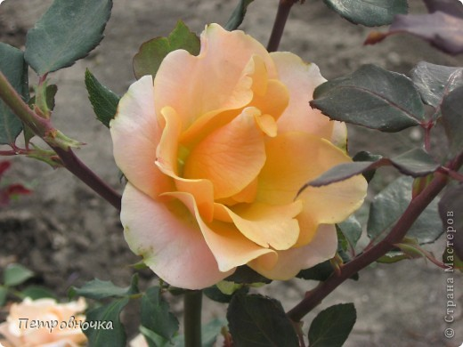 Как только два года назад купили цифровик, стала фотографировать цветы. У меня довольно большая коллекция. Но эти фото сделаны сегодня. Это первые розы этого года. фото 18