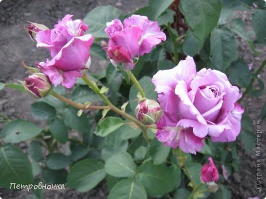 Как только два года назад купили цифровик, стала фотографировать цветы. У меня довольно большая коллекция. Но эти фото сделаны сегодня. Это первые розы этого года. фото 7
