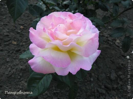 Как только два года назад купили цифровик, стала фотографировать цветы. У меня довольно большая коллекция. Но эти фото сделаны сегодня. Это первые розы этого года. фото 8