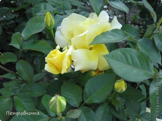 Как только два года назад купили цифровик, стала фотографировать цветы. У меня довольно большая коллекция. Но эти фото сделаны сегодня. Это первые розы этого года. фото 9