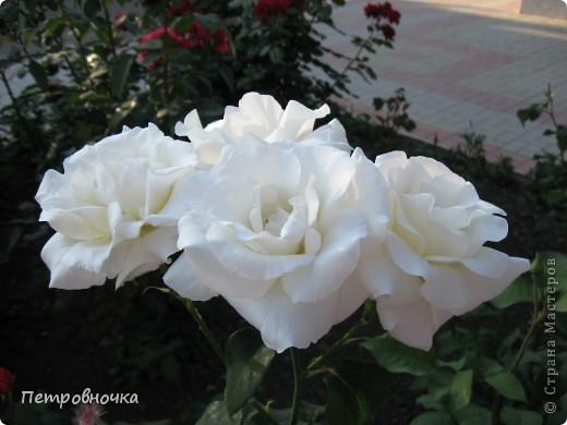 Как только два года назад купили цифровик, стала фотографировать цветы. У меня довольно большая коллекция. Но эти фото сделаны сегодня. Это первые розы этого года. фото 14