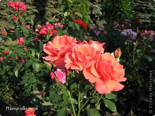 Как только два года назад купили цифровик, стала фотографировать цветы. У меня довольно большая коллекция. Но эти фото сделаны сегодня. Это первые розы этого года. фото 10