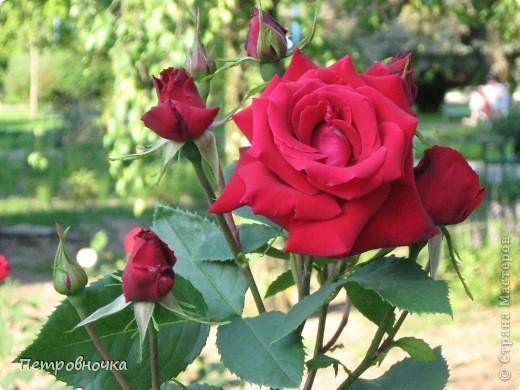 Как только два года назад купили цифровик, стала фотографировать цветы. У меня довольно большая коллекция. Но эти фото сделаны сегодня. Это первые розы этого года. фото 15