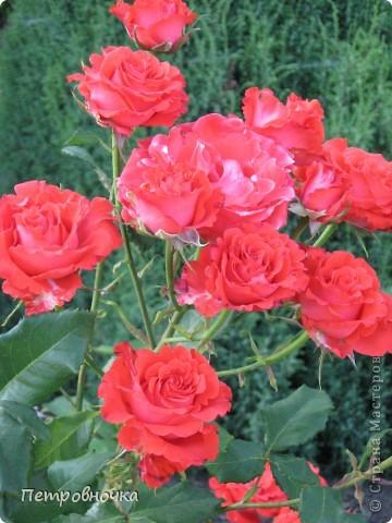 Как только два года назад купили цифровик, стала фотографировать цветы. У меня довольно большая коллекция. Но эти фото сделаны сегодня. Это первые розы этого года. фото 11