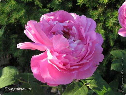 Как только два года назад купили цифровик, стала фотографировать цветы. У меня довольно большая коллекция. Но эти фото сделаны сегодня. Это первые розы этого года. фото 12