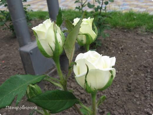 Как только два года назад купили цифровик, стала фотографировать цветы. У меня довольно большая коллекция. Но эти фото сделаны сегодня. Это первые розы этого года. фото 17