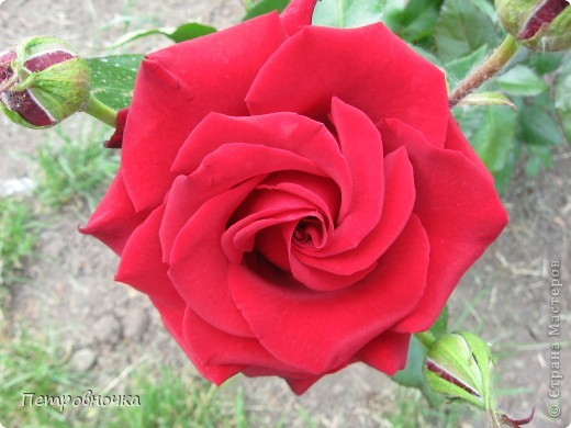 Как только два года назад купили цифровик, стала фотографировать цветы. У меня довольно большая коллекция. Но эти фото сделаны сегодня. Это первые розы этого года. фото 21