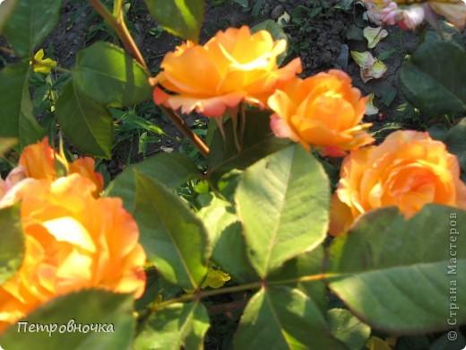 Как только два года назад купили цифровик, стала фотографировать цветы. У меня довольно большая коллекция. Но эти фото сделаны сегодня. Это первые розы этого года. фото 24