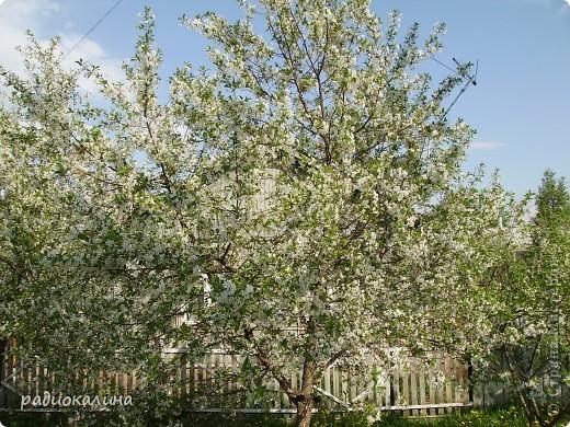Весна-красавица приходит к нам потихоньку, незаметно, а потом вдруг как все вокруг становится белым и нежным. Начинает этот белоснежный танец вишня. Вся  как белым облаком одета. фото 1