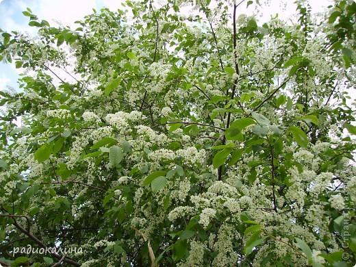 Весна-красавица приходит к нам потихоньку, незаметно, а потом вдруг как все вокруг становится белым и нежным. Начинает этот белоснежный танец вишня. Вся  как белым облаком одета. фото 2