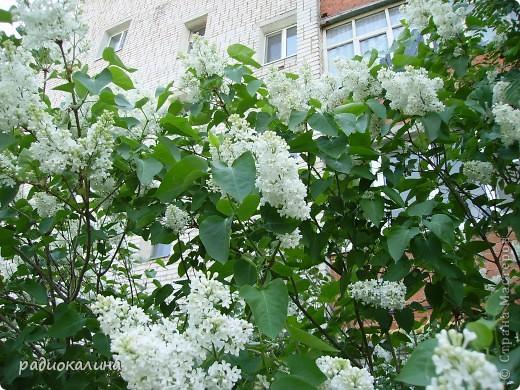 Весна-красавица приходит к нам потихоньку, незаметно, а потом вдруг как все вокруг становится белым и нежным. Начинает этот белоснежный танец вишня. Вся  как белым облаком одета. фото 6