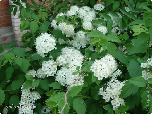 Весна-красавица приходит к нам потихоньку, незаметно, а потом вдруг как все вокруг становится белым и нежным. Начинает этот белоснежный танец вишня. Вся  как белым облаком одета. фото 7