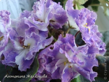 Предлагаю полюбоваться цветением моих фиалочек. Вот такая она красавица в полном цветении. фото 1