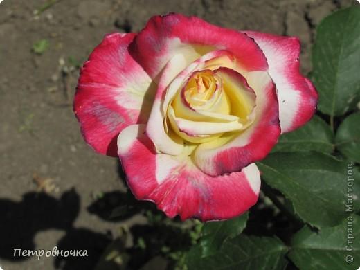 Как только два года назад купили цифровик, стала фотографировать цветы. У меня довольно большая коллекция. Но эти фото сделаны сегодня. Это первые розы этого года. фото 28