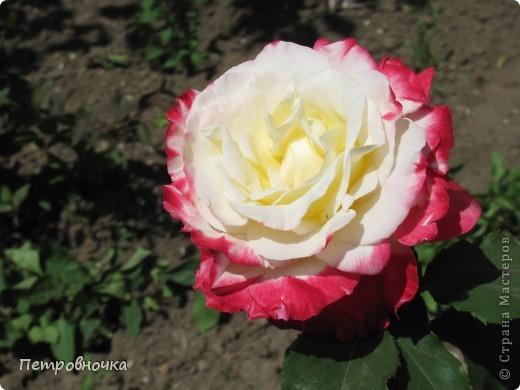 Как только два года назад купили цифровик, стала фотографировать цветы. У меня довольно большая коллекция. Но эти фото сделаны сегодня. Это первые розы этого года. фото 27