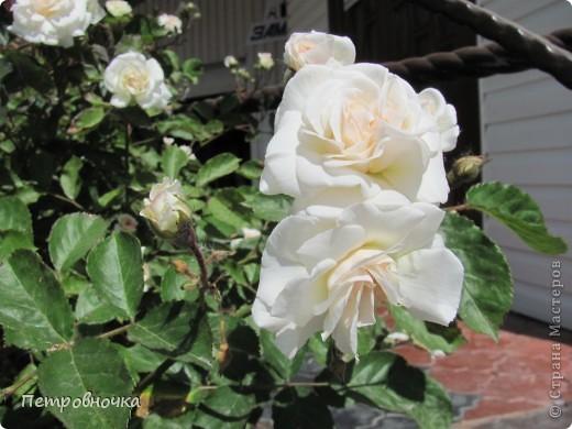 Как только два года назад купили цифровик, стала фотографировать цветы. У меня довольно большая коллекция. Но эти фото сделаны сегодня. Это первые розы этого года. фото 29