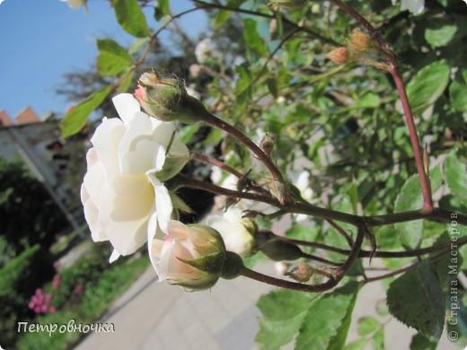 Как только два года назад купили цифровик, стала фотографировать цветы. У меня довольно большая коллекция. Но эти фото сделаны сегодня. Это первые розы этого года. фото 30