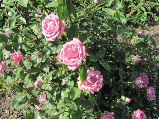 Как только два года назад купили цифровик, стала фотографировать цветы. У меня довольно большая коллекция. Но эти фото сделаны сегодня. Это первые розы этого года. фото 31