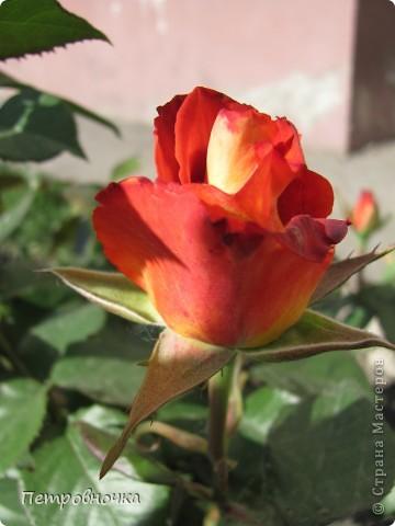Как только два года назад купили цифровик, стала фотографировать цветы. У меня довольно большая коллекция. Но эти фото сделаны сегодня. Это первые розы этого года. фото 33